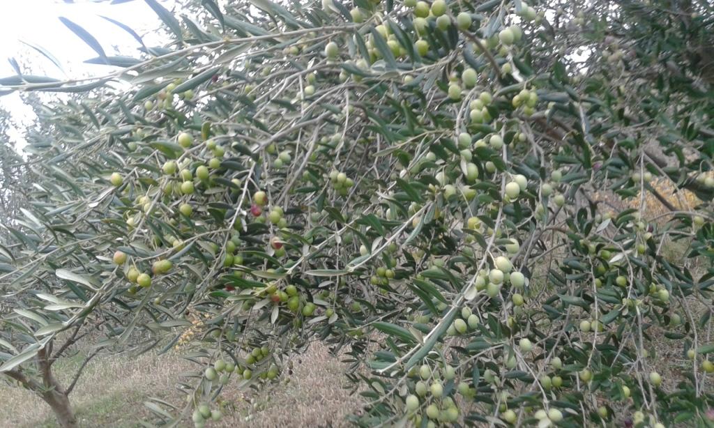 38 stabala maslina , starosti 8 godina